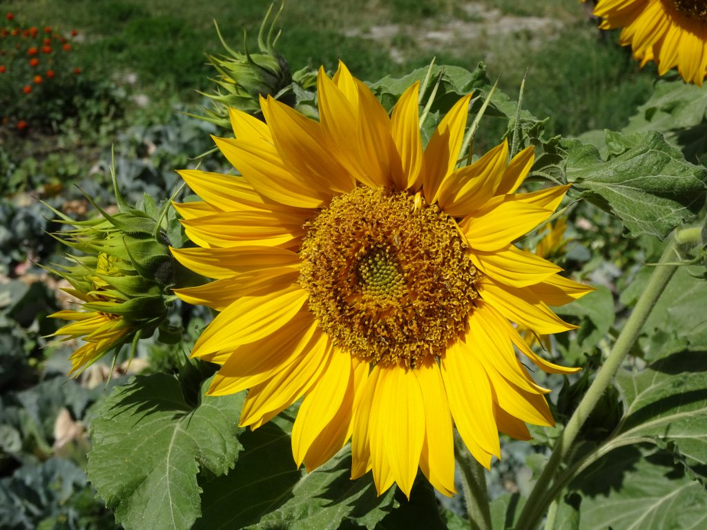 Nubra Eco-Lodge - Sunflower