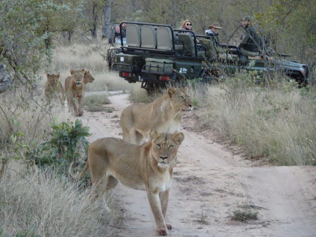 Lions at Elephant Plains