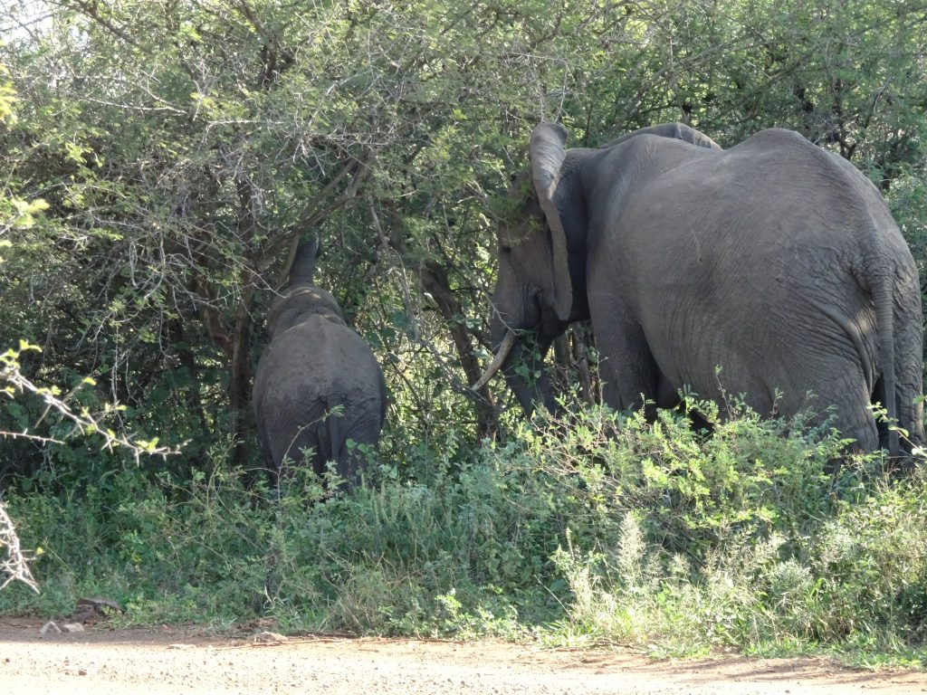 2 Elephants right by the road at KNP