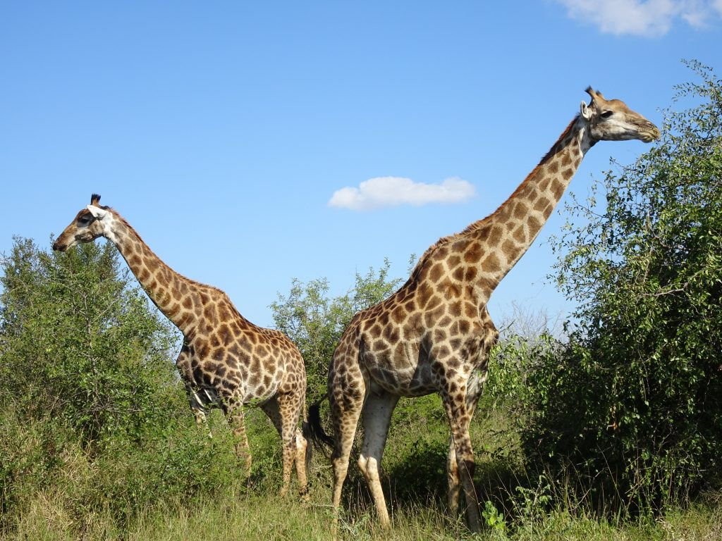 2 Giraffes right by the road at KNP