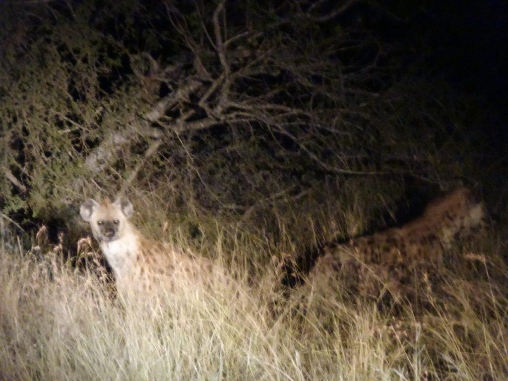 2 Hyenas at Satara