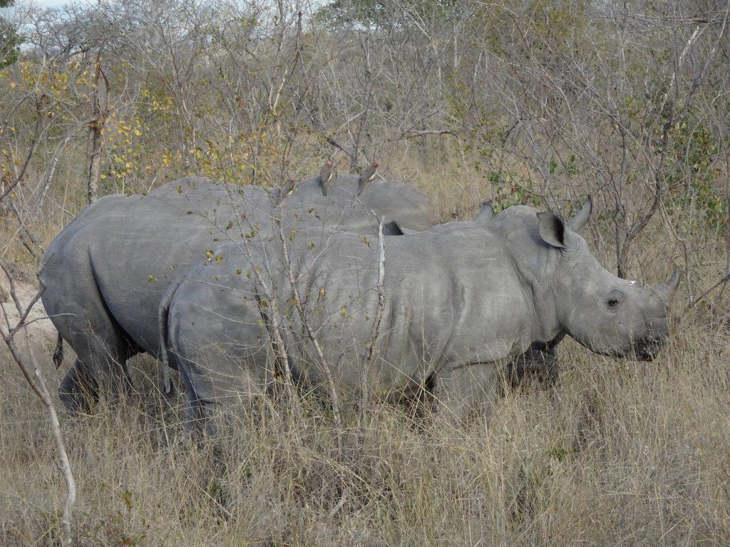 2 White Rhinos at EP