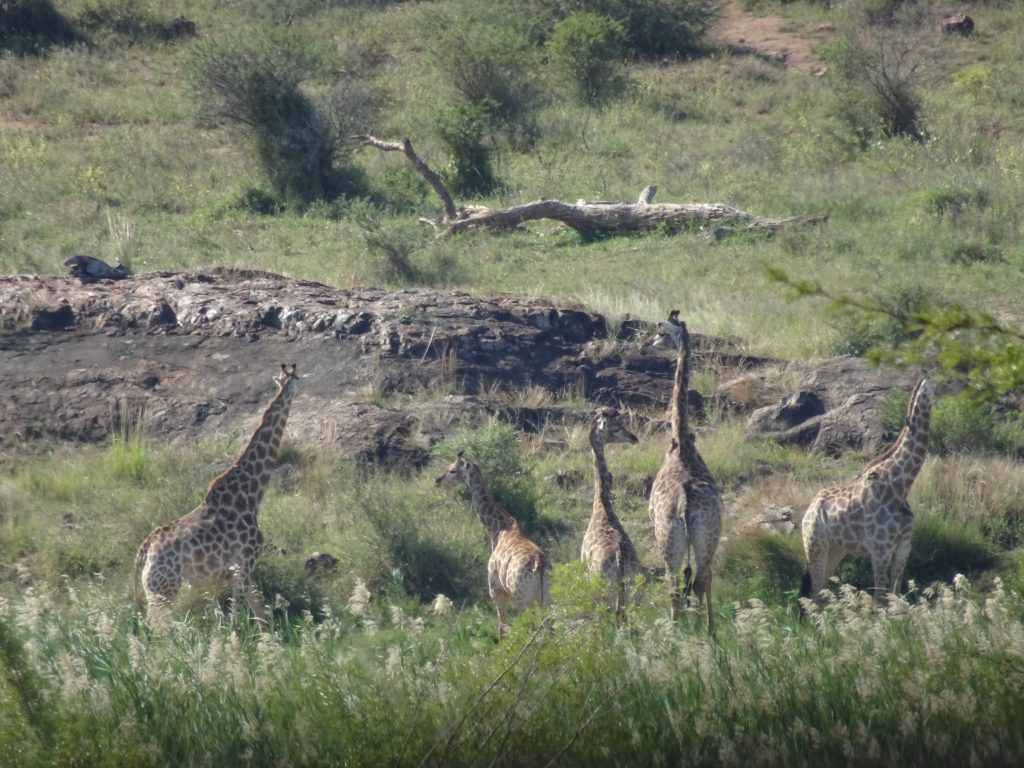 A Tower of Giraffes at KNP