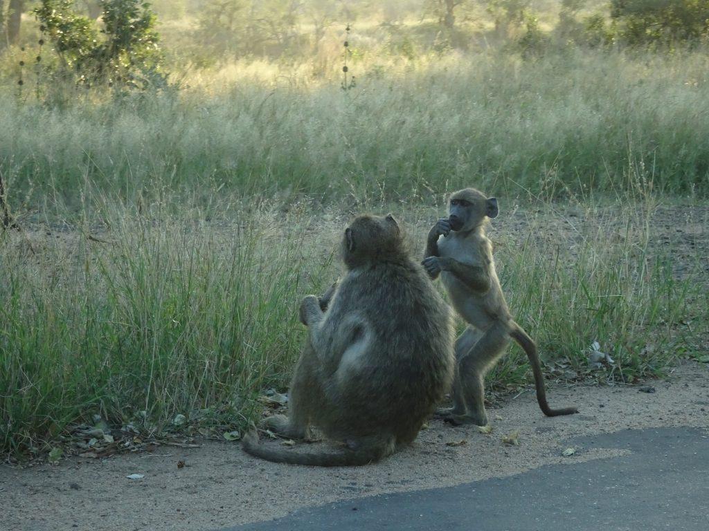 Baboons blocking traffic