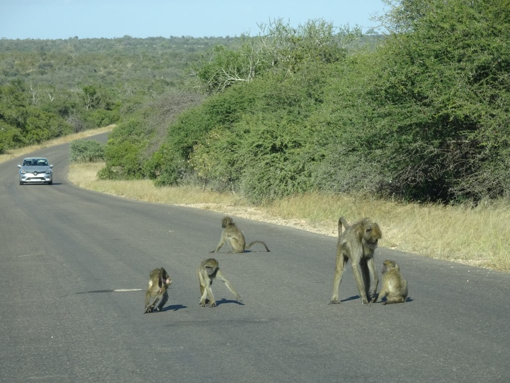 Baboons causing a traffic jam