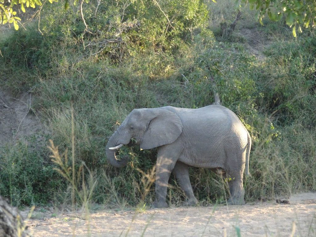 Baby Elephant at KNP