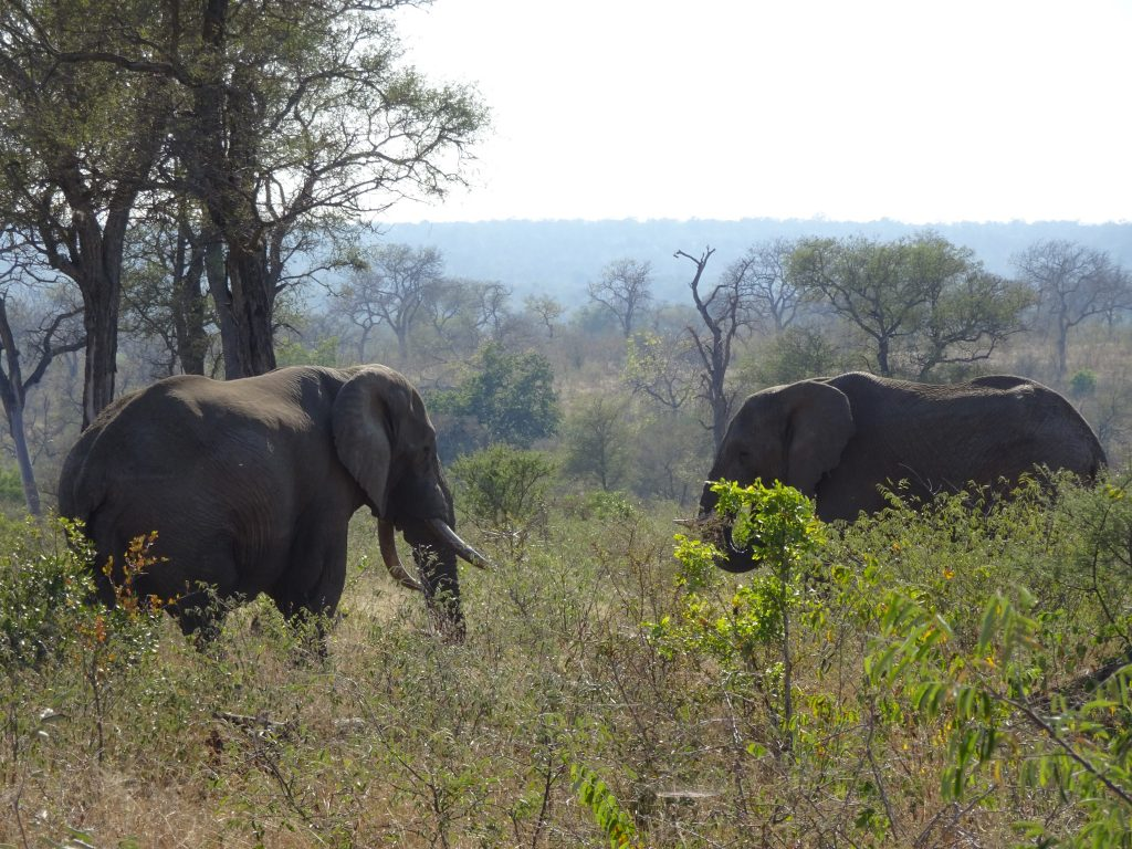 Elephants at KNP
