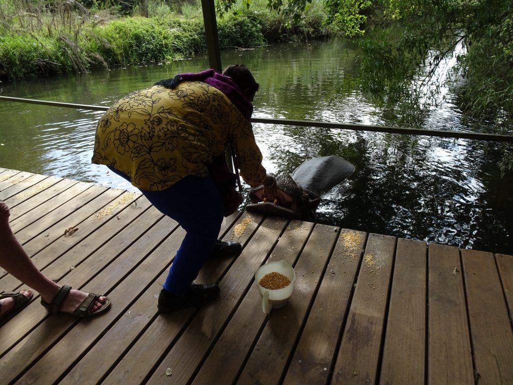 Feeding Hippo Jessica