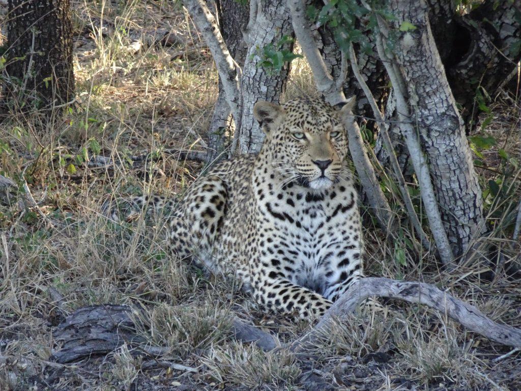 Female Leopard Tiyani at EP
