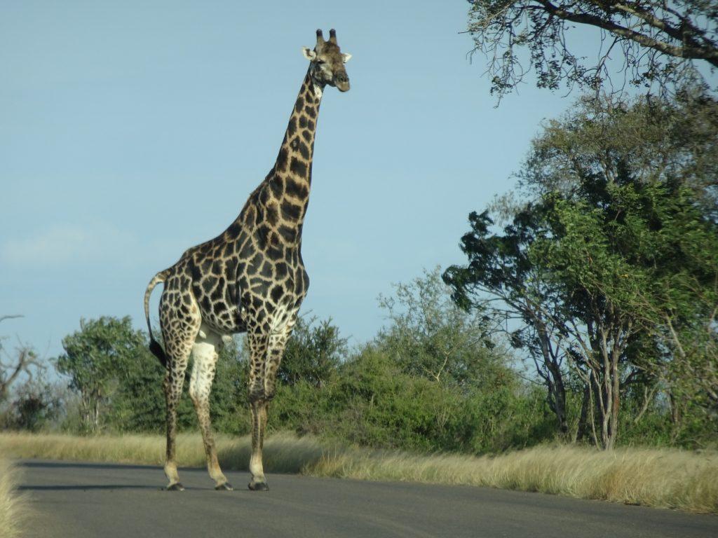 Giraffes crossing the road