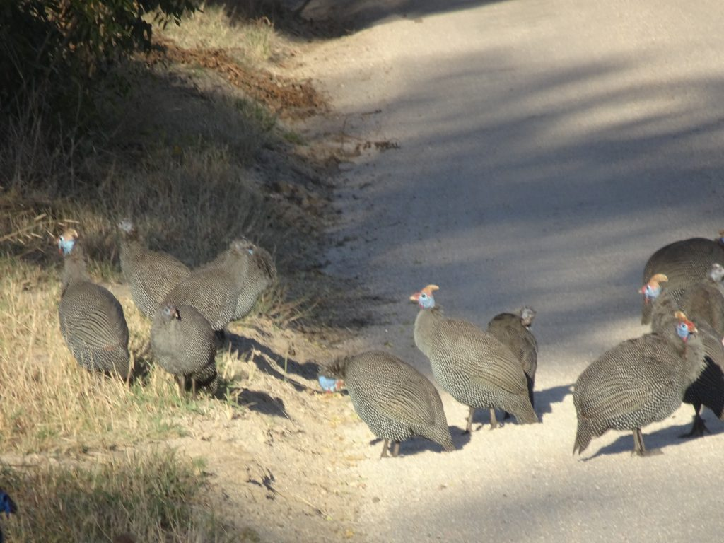 Guineafowl at EP