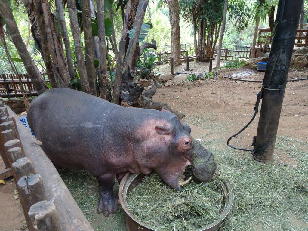 Hippo Richie