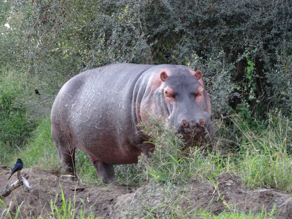 Hippo at EP