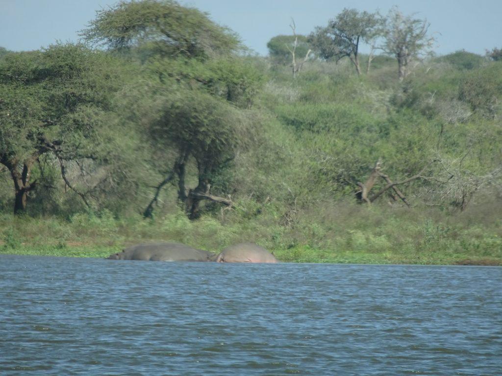 Hippos at waterhole
