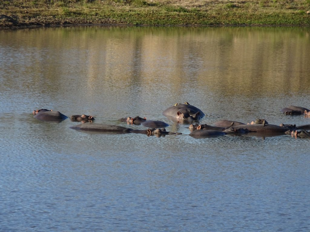 Hippos lazing in water at EP