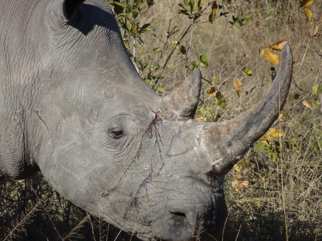 Hurt female rhino at EP