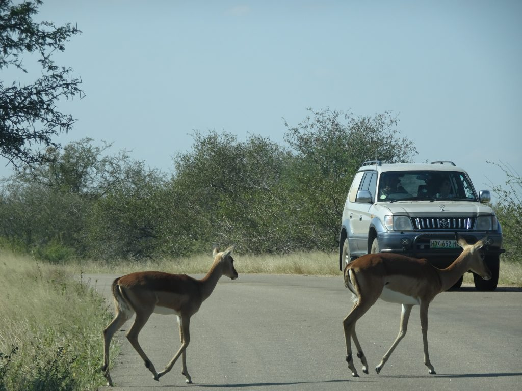 Impalas crossing the road at KNP