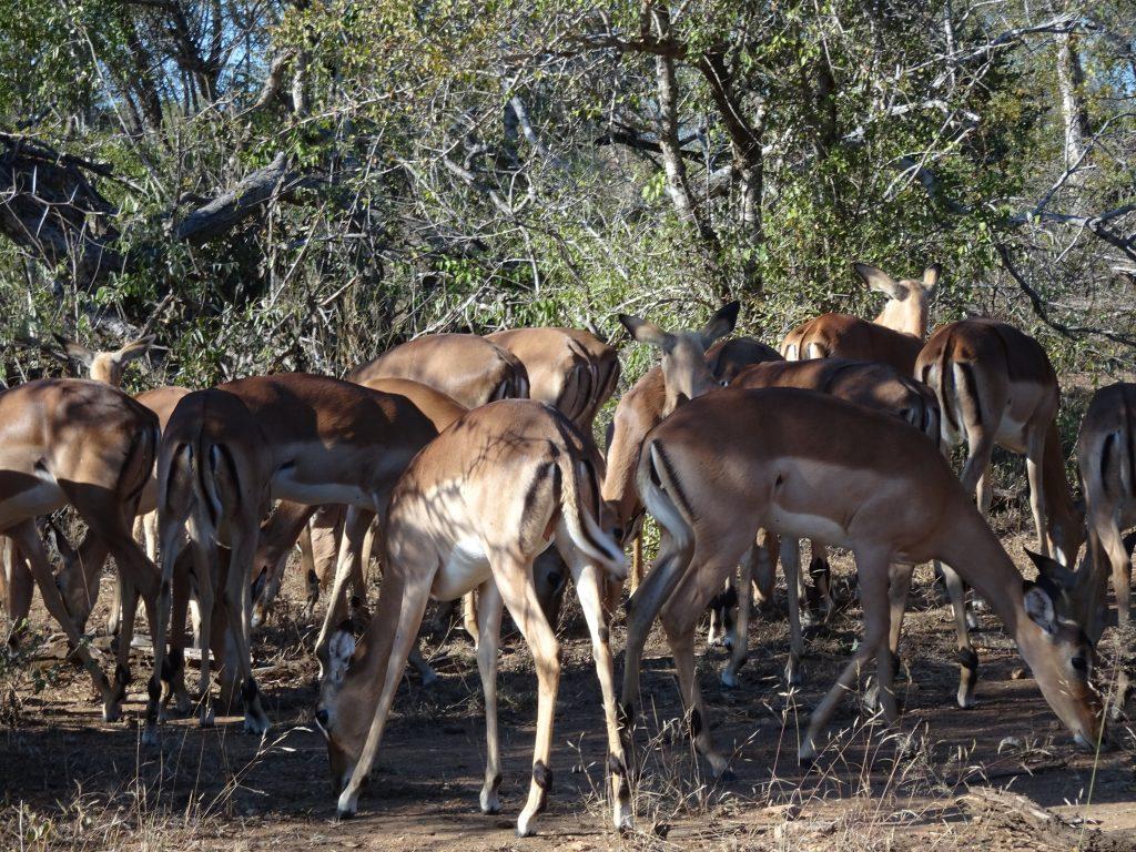 Impalas everywhere