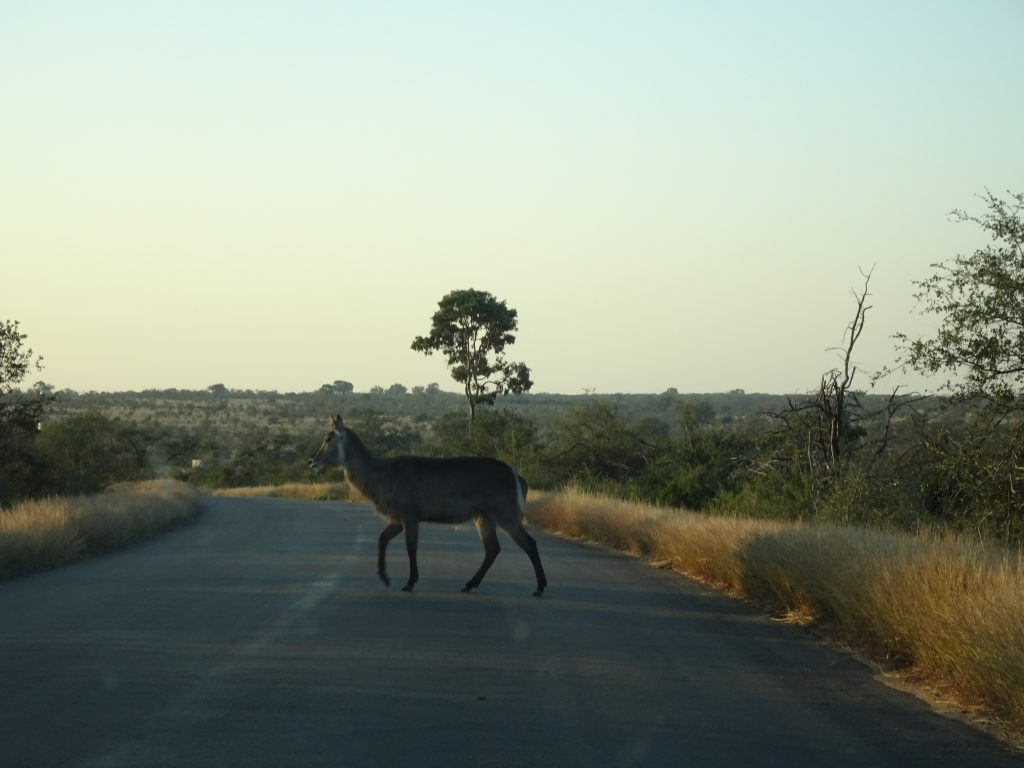 Kudu crossing the road at KNP
