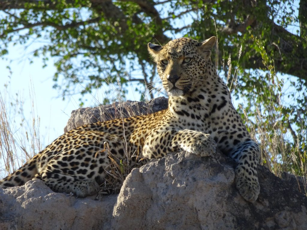 Leopard sitting on favourite Termite Rock