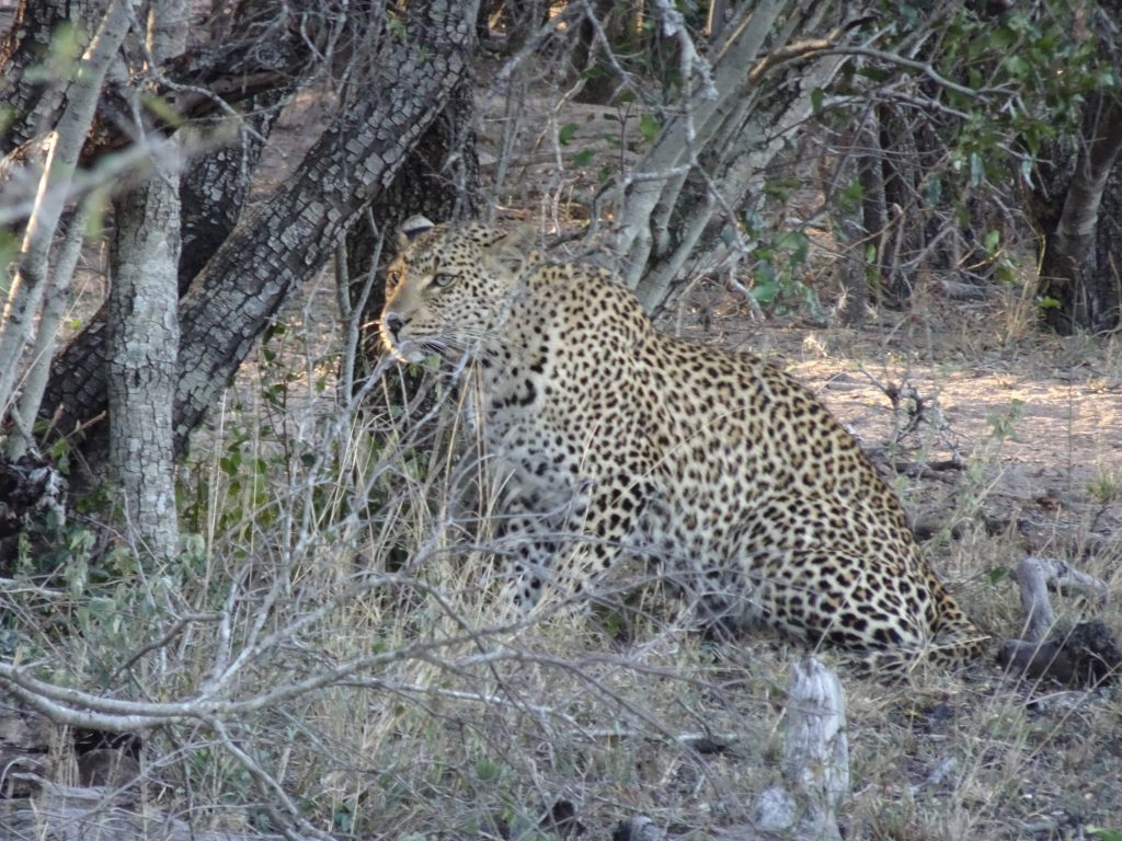 Leopard stalking an impala at EP