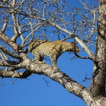 Leopard standing on a tree