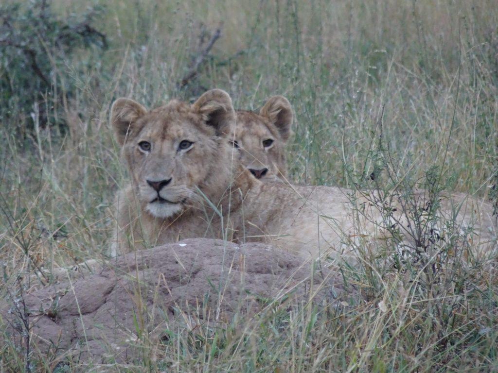Lions at Satara