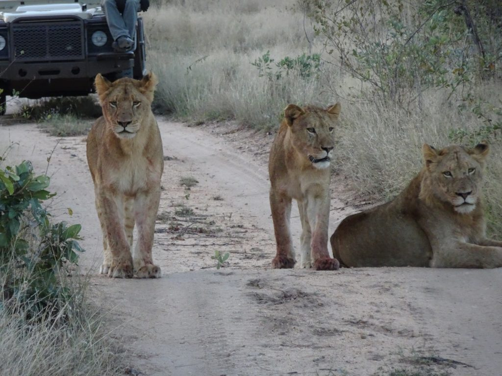 Lions blocking road at EP