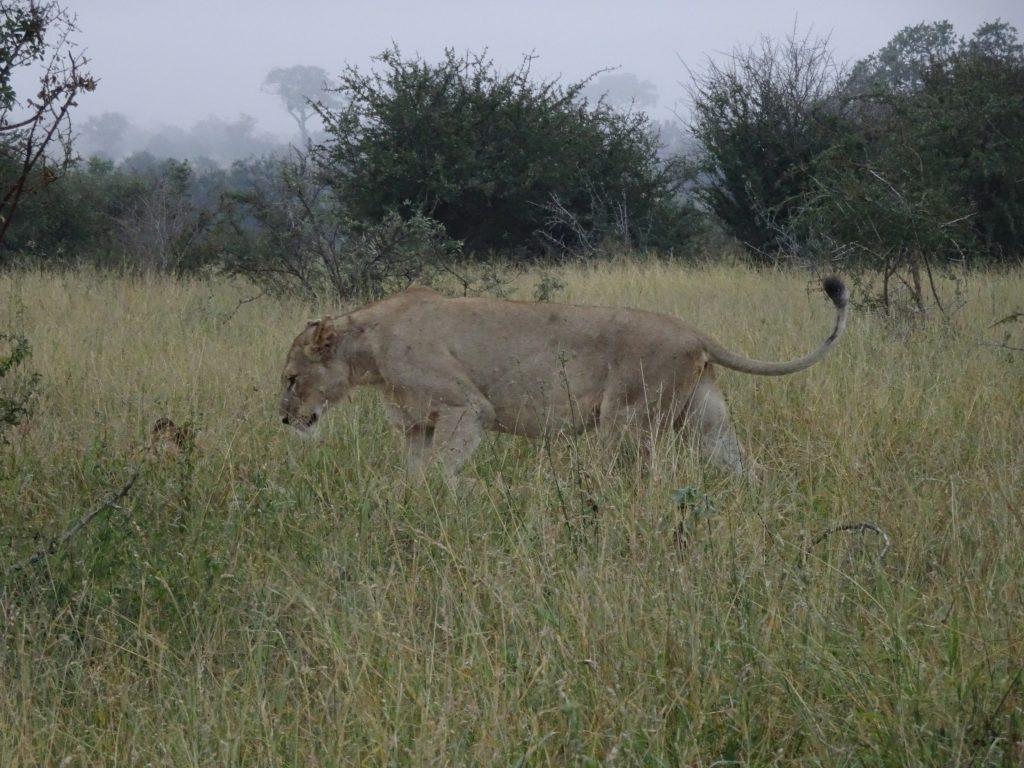 Majestic Lion at Satara
