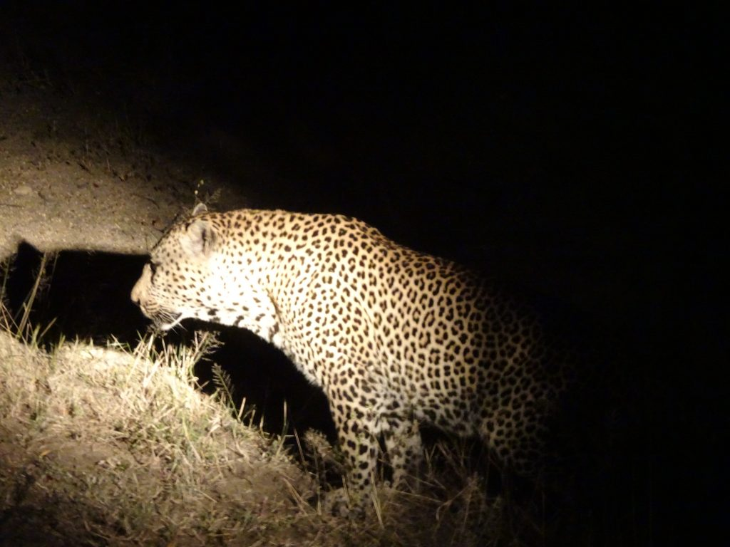 Male Leopard at EP