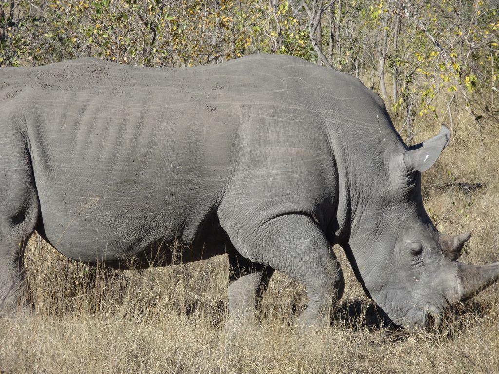 Male Rhino at EP