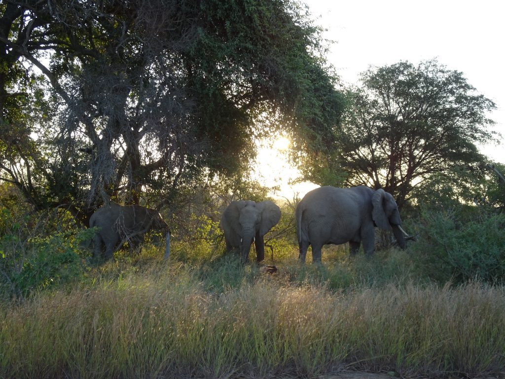 More Elephants at KNP
