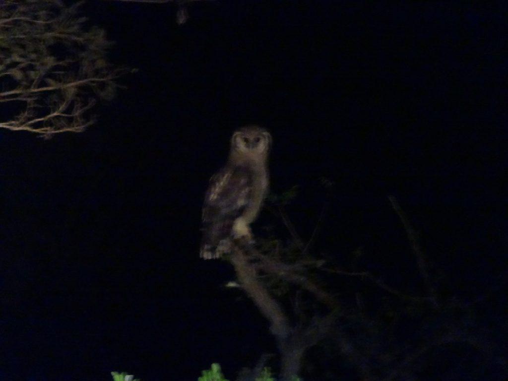 Owl at Satara