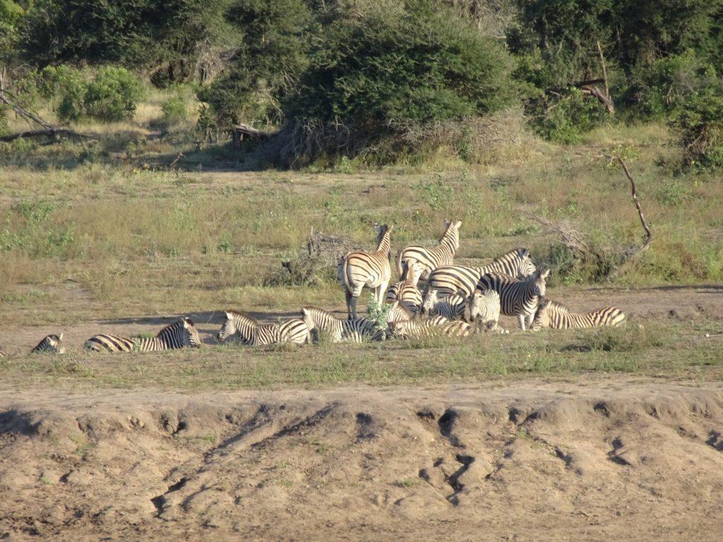 Sleeping Zebras at Nsemani Dam
