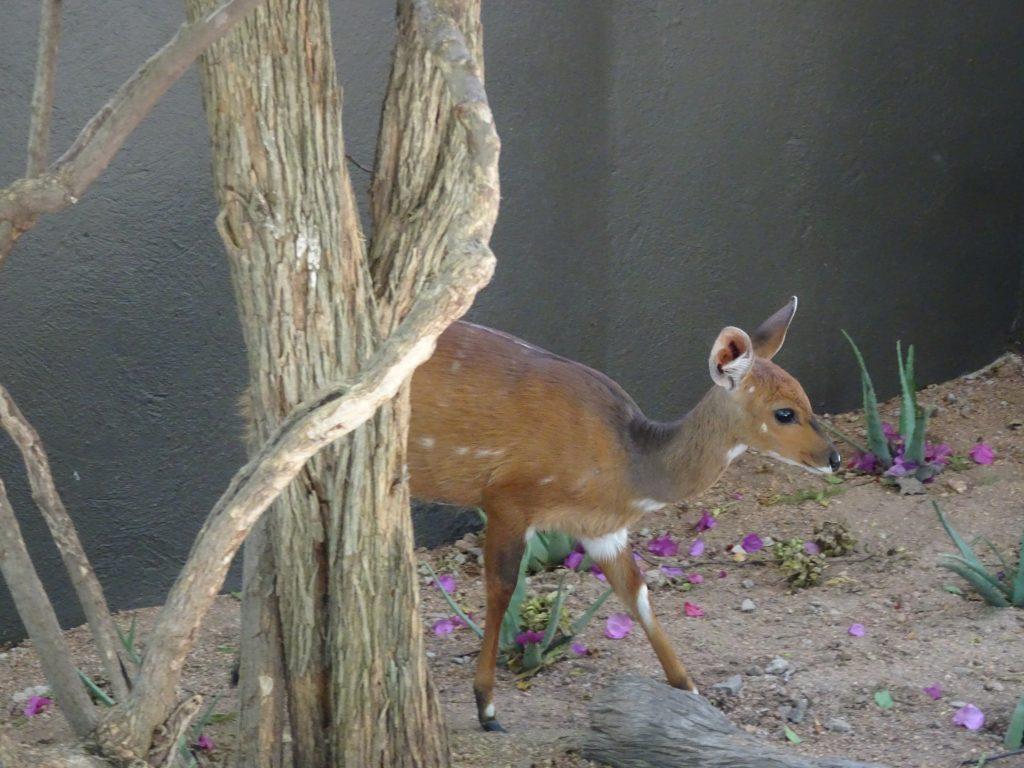 Steenbok at EP