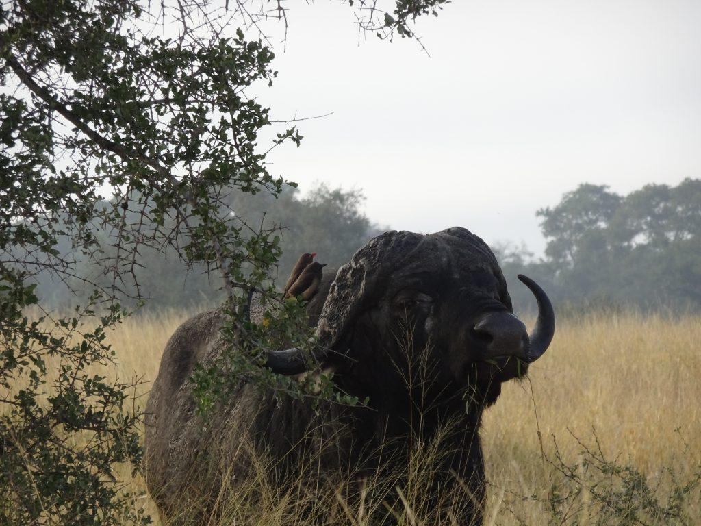 Wild Buffalo on S100