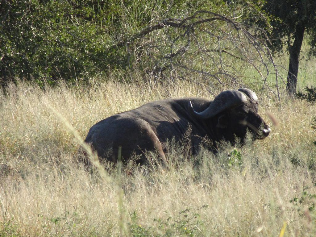 Wild buffalo lazing around