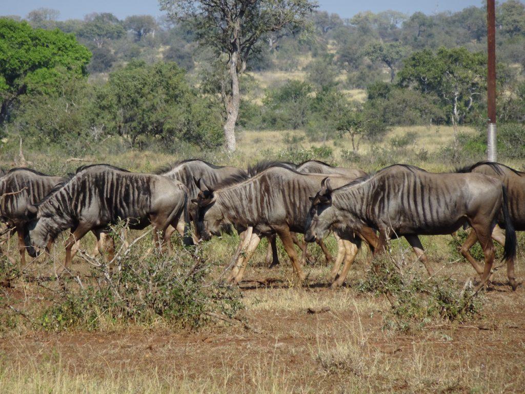 Wildebeest everywhere near Satara
