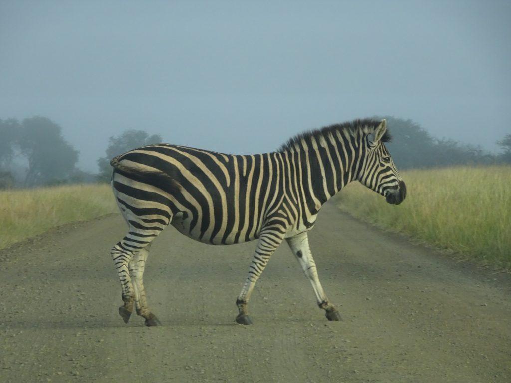 Zebra crossing the road near Satara