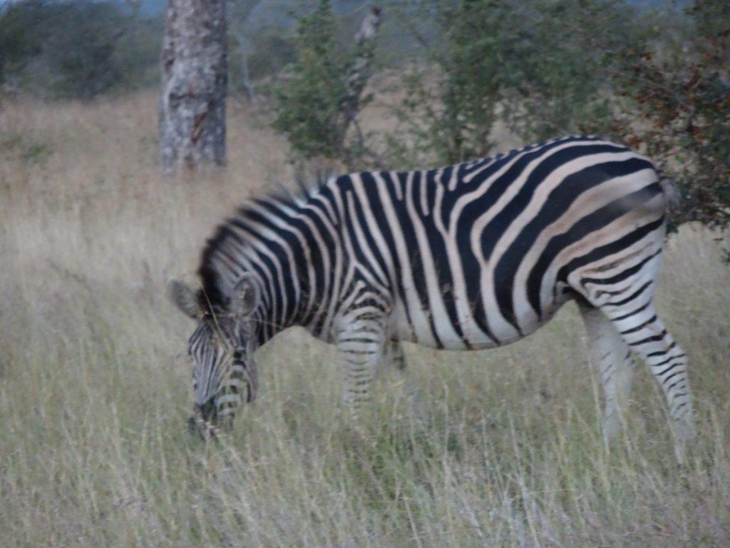 Zebra near Satara