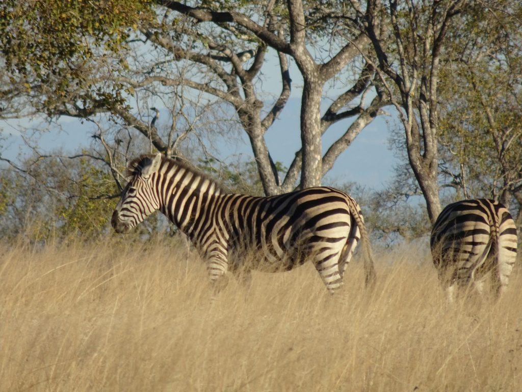 Zebras at EP