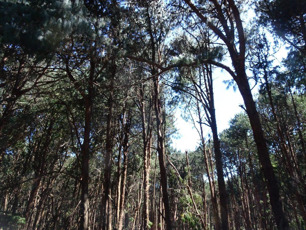 Pine Forest in Kodaikanal