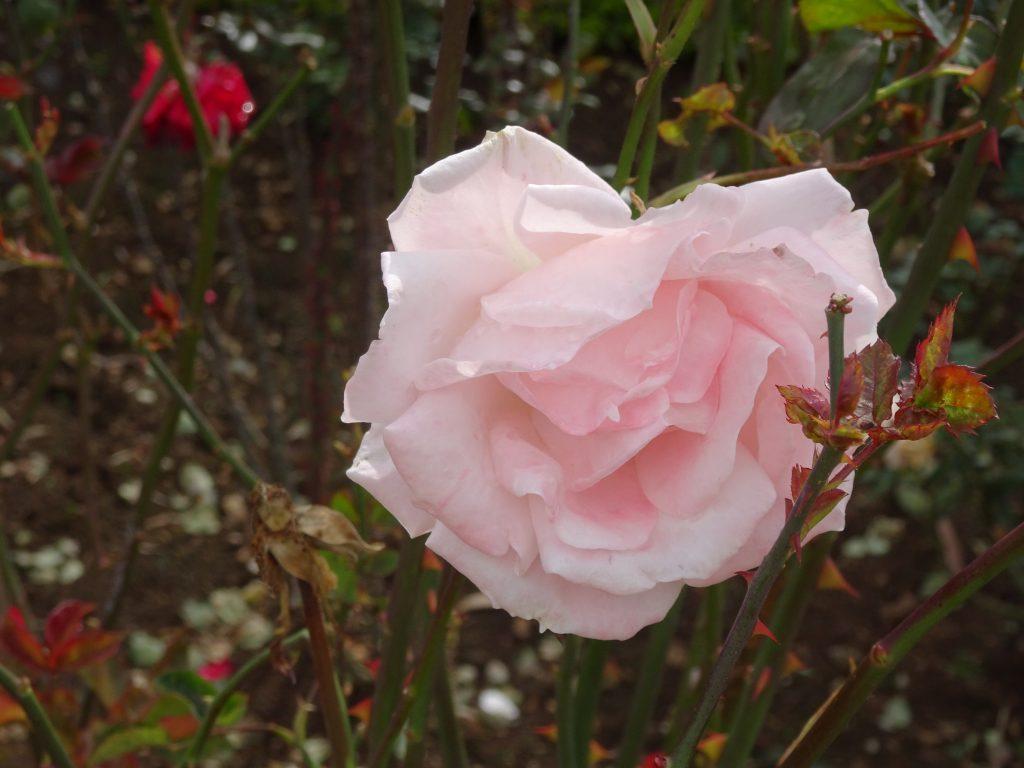 Rose in Ooty