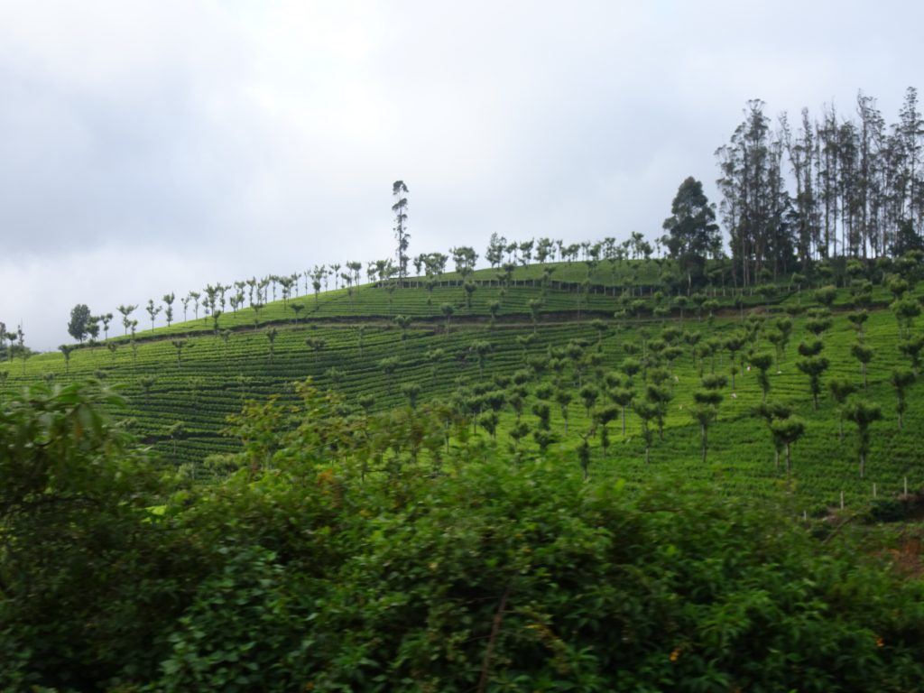 Tea Estates from Toy Train in Ooty