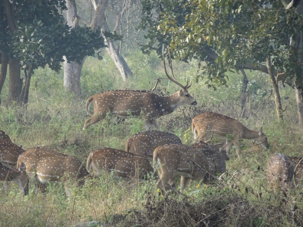 A Herd of Deer at Bandipur