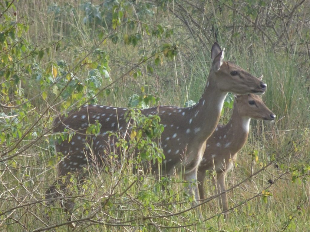 Deers at Bandipur National Park