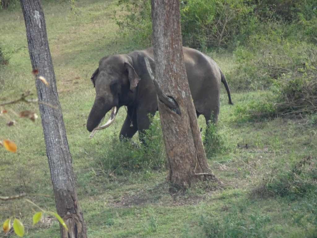 Elephants at Mudumalai