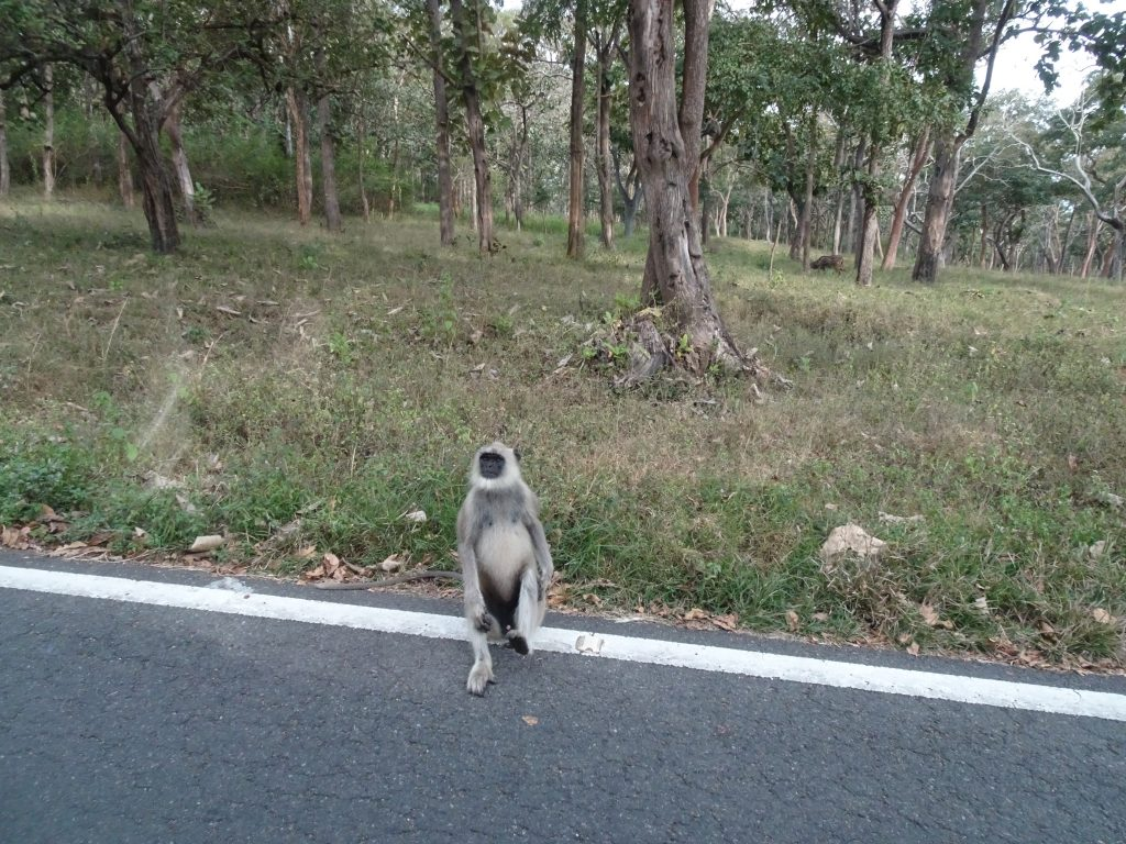 Monkeys on the road to Bandipur