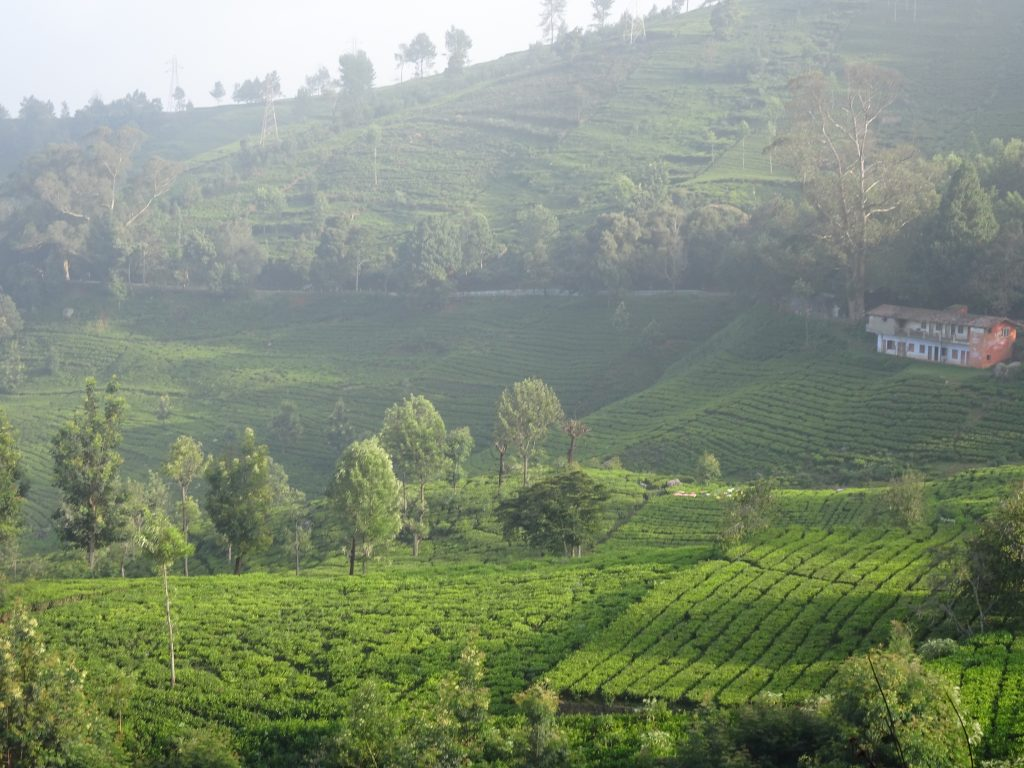 Tea Estates en-route to Kotagiri