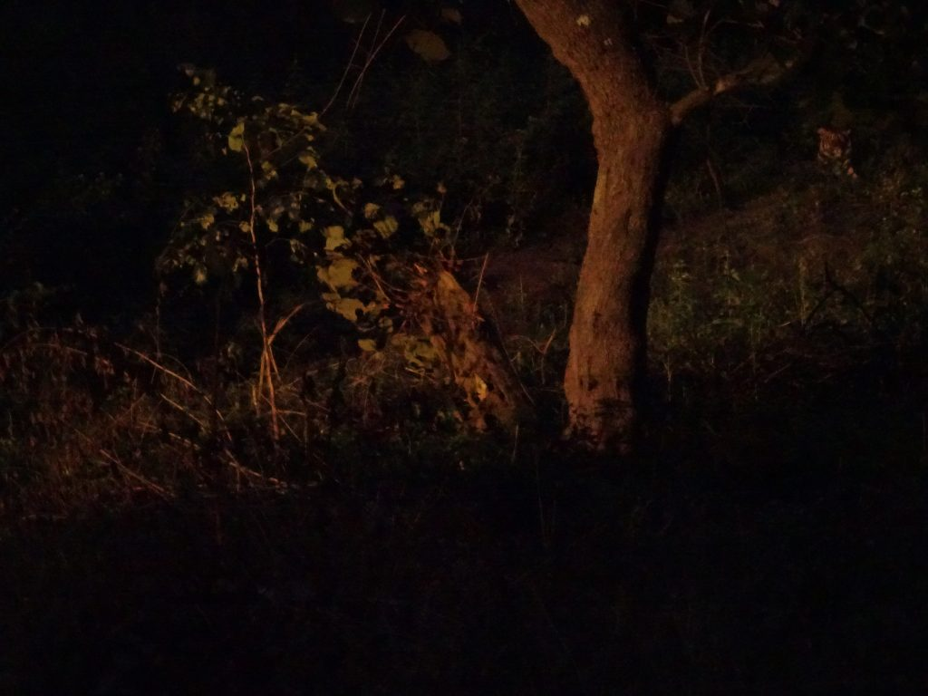 Tiger at Bandipur